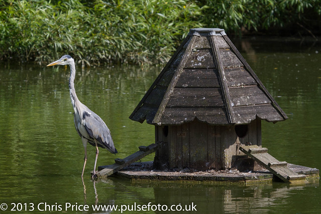 Grey Heron on Sherfield Pond