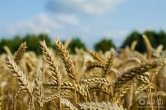 cornfield (Pette-P) Tags: cornfield flora bokeh pflanzen feld acker kornfeld getreide