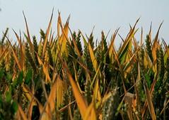 Gold (Heide (vorher roeschen56)) Tags: natur feld sonne korn