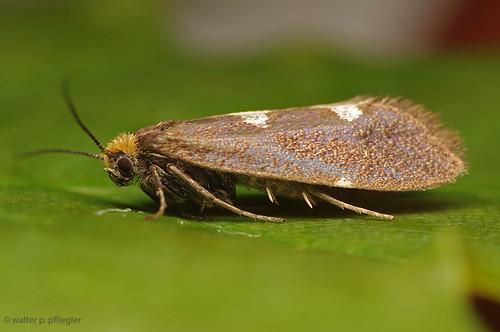 Incurvaria masualella female PJ8856