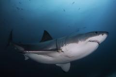 Great White Shark (MJParsons Photography) Tags: white islands shark great fox neptune rodney