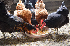 Poultry (UnitedSoybeanBoard) Tags: chickens animal horizontal poultry ag agriculture