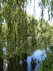 Weeping willow tree over river, UK 2013 (ontourwithdaisy.co.uk) Tags: uk england tree water vertical river britain branches great over scenic willow gb drooping dangling weeping tranquil salix babylonica