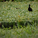 """Wattled Jacana (Jacana jacana) - Adult • <a style=""""font-size:0.8em;"""" href=""""http://www.flickr.com/photos/101688182@N03/9771855021/"""" target=""""_blank"""">View on Flickr</a>"""