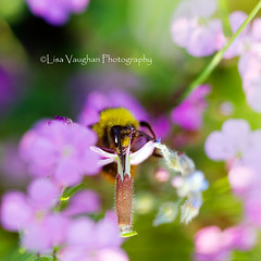 Another beautiful bee... (Lolav2010...) Tags: flowers macro garden buzz wings sting bee