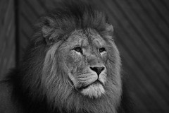 Lion Head (Filters of Perception) Tags: white black animal canon eos 350d zoo mono lion 55250