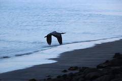 IMG_9093 (armadil) Tags: california sunset bird beach heron birds flying beaches greatblueheron mavericks californiabeaches
