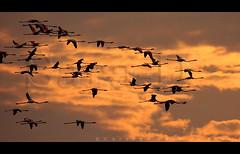 Flamingo Sky (Sara-D) Tags: sunset nature birds animals forest asia wildlife aves sl lanka srilanka ceylon lk srilankan wildanimals southasia mannar sarad serendib birdsflying asianwildlife saranga birdsofsrilanka ramsarwetland birdsofsouthasia dealwis theimagesofsrilanka sarangadeva