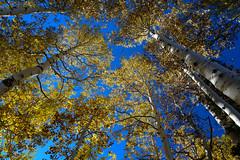 Aspens (bumeister1) Tags: autumn light fall yellow forest utah nikon moab aspens d800 lightroom