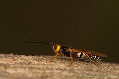 Ichneumon wasp (kasia-aus) Tags: white black macro nature yellow insect wasp may australia tiny ichneumon canberra longantennae