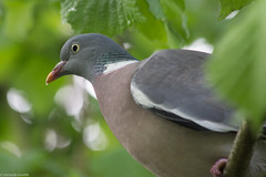 venu se poser prs de ma fentre ;-) (chleve) Tags: pigeon animaux oiseaux sarthe