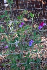 20140420 010.jpg (ctmorgan) Tags: california flowers dublin unitedstates sweetpeaflower