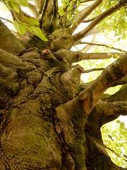 Le tronc du htre (3) (Matrok) Tags: france tree arbre beech picardie senlis oise htre parcduchteauroyaldesenlis