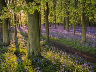 Dockey Wood Morning Light