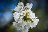 Oostvaardersplas (inekehuizing) Tags: nature landscape spring blossom natuur pear lelystad landschap voorjaar oostvaarderplassen inekehuizingfotografie