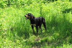 Frakk (debreczeniemoke) Tags: dog spring meadow kutya tavasz frakk rét transylvanianhound erdélyikopó canonpowershotsx20is