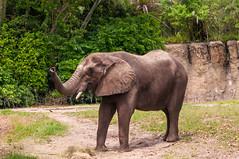 Walt Disney World 2015-37 (King_of_Games) Tags: elephant orlando florida disney safari disneyworld fl waltdisneyworld themepark animalkingdom waltdisney