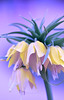 Ultraviolet Fritillaria (Robin Evans (Colorado | mostly off)) Tags: photomanipulation photoshop violet ultraviolet fritillaria gardenflowers fantasyflower thegardensatspringcreek robinevansstudio luteafritillariacrownimperial ultravioletfritillaria