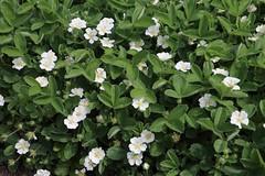Potentilla montana, Berg-Fingerkraut (julia_HalleFotoFan) Tags: rosaceae potentilla fingerkraut rosengewchs potentillamontana botanischergartenhalle bergfingerkraut