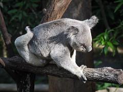 Awkward Yoga Pose Koala @ Currumbin Wildlife Sanctuary, Australia (Yortw) Tags: yoga pose lumix wildlife australia panasonic koala qld april awkward sanctuary currumbin goldcoast 2015 microfourthirds dmcg10