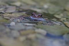 Grasfrosch (Aah-Yeah) Tags: water bayern wasser frog rana frosch achental temporaria grasfrosch chiemgau froschlurch