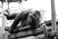 Gorille- Meru 3 (FranSight) Tags: wild blackandwhite bw white black france animal canon de eos zoo monkey photo flickr noir image gorilla picture fran nb 100mm des mai plaines sortie animaux et lorraine fr primate parc blanc beau nord 57 est journe facebook singe moselle zoologique sauvage faune gorille 2015 amneville animalier amnville zoodamnville espece photographieanimalire eos70d fransight franimage
