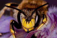 Wool carder bee (Tubs McHam) Tags: macro insect wildlife bee sigma105mmmacro extentiontubes importedkeywordtags marumiringflash matthewpaullewis tubsmcham
