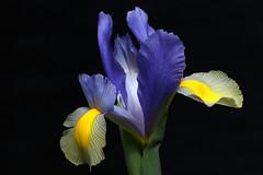 Charming Blues (AnyMotion) Tags: flowers blue iris plants nature floral colors yellow closeup garden petals colours blossom frankfurt ngc natur pflanzen blumen gelb npc blau blüte garten farben 6d onblack schwertlilie dutchiris 2015 anymotion irishollandica canoneos6d holländischeschwertlilie