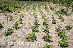 Maun, Botswana- Sexaxa Village African Corn Growing in the Fields (Remsberg Photos) Tags: world africa food green outdoors healthy corn village farm farming harvest soil rows crops growing botswana goodeats familybusiness maun