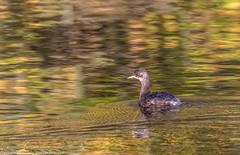 9Q6A8717 (2) (Alinbidford) Tags: alinbidford alancurtis brandonmarsh greyheron heron littlegrebe pochard blackheadedgull muteswan cormorant