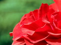 Whisper (Khaled M. K. HEGAZY) Tags: nikon coolpix p520 maadi sporting club cairo egypt nature outdoor closeup macro rose plant flower petal red green