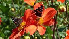 Schmetterlinge zur Dahlienzeit auf der Insel Mainau
