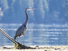 Great Blue Heron (Seth GaleWyrick) Tags: olympus omd em5 panasonic100400 wildlife birds tofino bc canada marine ocean life
