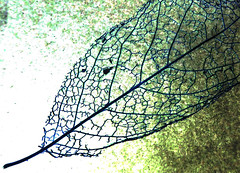 Magnolia Leaf (Durley Beachbum) Tags: odc leaf lace lacy october bournmemouth