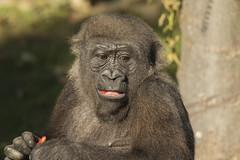 Gorilla - Blijdorp (Jan de Neijs Photography) Tags: gorilla blijdorp diergaardeblijdorp zoo dierentuin rotterdam aap ape tamron150600 tamron g2 nl nederland holland dieniederlande thenetherlands rotterdamsediergaarde