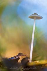 La tte dans les nuages (Anne-Franoise LAURANS) Tags: champignon nikon mushrooms macro nature sous bois fort automne