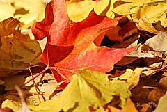 One of a Kind (Eyes Open To Life) Tags: autumn fall maple leaf nature
