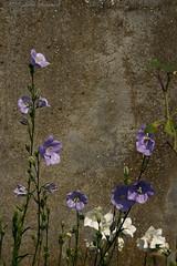 Harebell (Natali Antonovich) Tags: flowers nature belgium angel harebell