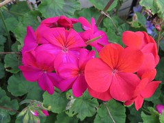4976 Pink and red Geranium (Andy - Daft as a brush - don't ask!) Tags: 20161014 fff flowers geranium ggg macro pink ppp red rrr