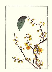 Wintersweet (Japanese Flower and Bird Art) Tags: flower wintersweet chimonanthus praecox calycanthaceae hoitsu sakai kiitsu suzuki kimei nakano nihonga woodblock picture book japan japanese art readercollection