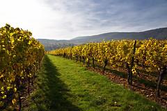Le chemin des vignes (Excalibur67) Tags: nikon d750 sigma 24105f4dgoshsma paysage landscape alsace automne autumn vosgesdunord vigne vignoble jaune yellow globalvision