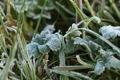 Yesterday's ground frost (AngharadW) Tags: cold autumn green jackfrost frost