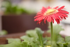 gerbera in cafe/ (kurupa_m) Tags: gerbera flower plant red xt10 hokkaido