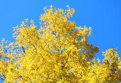 bright yellow tree (joybidge (0n vacation)) Tags: trishcanada naturepatternscanada victoriabc butchartgardens trees tre