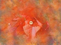 Orange Bougainvillea Art by Kaye Menner (Kaye Menner) Tags: photography textureoverlay orangebougainvilleaart orangebougainvillea bougainvillea petals bougainvilleapetals abstract orangeabstract natureabstract impressionism flower orangeflower orangepetals stamen whitestamen kayemennerphotography kayemenner floral orangefloral flora orangeflora colorful bright vibrant vivid nature botanical kayemennerfloral kayemennerabstract orange orangetones prettycolors bougainvilleaart orangeart floralart