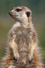 Erdmnnchen (astroaxel) Tags: deutschland nrw nordrhein westfalen nordrheinwestfalen gelsenkirchen zoom erlebniswelt zoo erdmnnchen