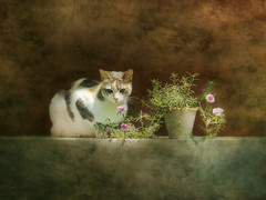 Celeste (Ani Carrington) Tags: celeste cat tabby calicot calicotcat still life stillife textured