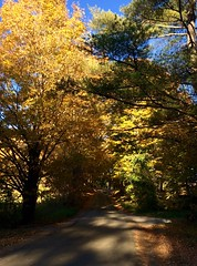 driving home in Vermont (Lady Goshen) Tags: autumn foliage color leaves harvest fall tree tres gold yellow orange red vermont countryroad shadows forest