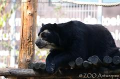 brilbeer - Tremarctos ornatus - Spectacled Bear (MrTDiddy) Tags: brilbeer tremarctos ornatus spectacled bear bril beer mammal zoogdier vrouwelijk female zamora zooantwerpen zoo antwerp antwerpen