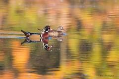 Wood Duck pair in fall reflections (sbuckinghamnj) Tags: woodduck newjersey waterfowl duck celeryfarm